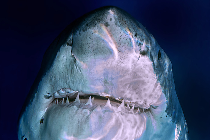 Animal Teeth Dreams